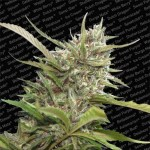 Auto White Berry (X3)2*1