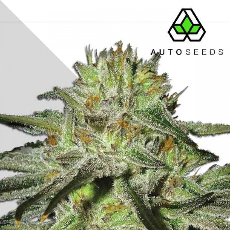 KUSH DOCTOR (AUTO SEEDS)